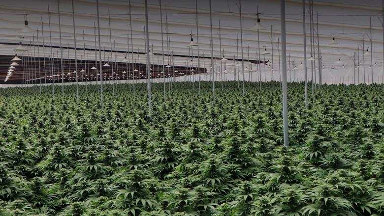 Cannabis plantada nas fazendas da Clever Leaves na Colômbia (Foto: Clever Leaves/Divulgação)