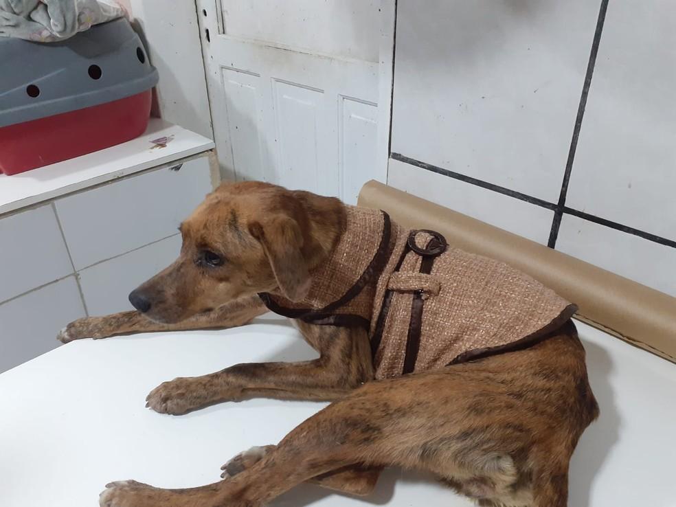 Cachorra Terrinha após resgate, deitada — Foto: ONG Protetores dos Animais de Bombinhas/Divulgação