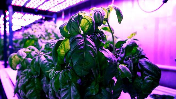 O manjericão foi cultivado em unidade hidropônicas dentro de contêineres, onde todos os aspectos eram controlados, como temperatura, luz e umidade (Foto: MELANIE GONICK)