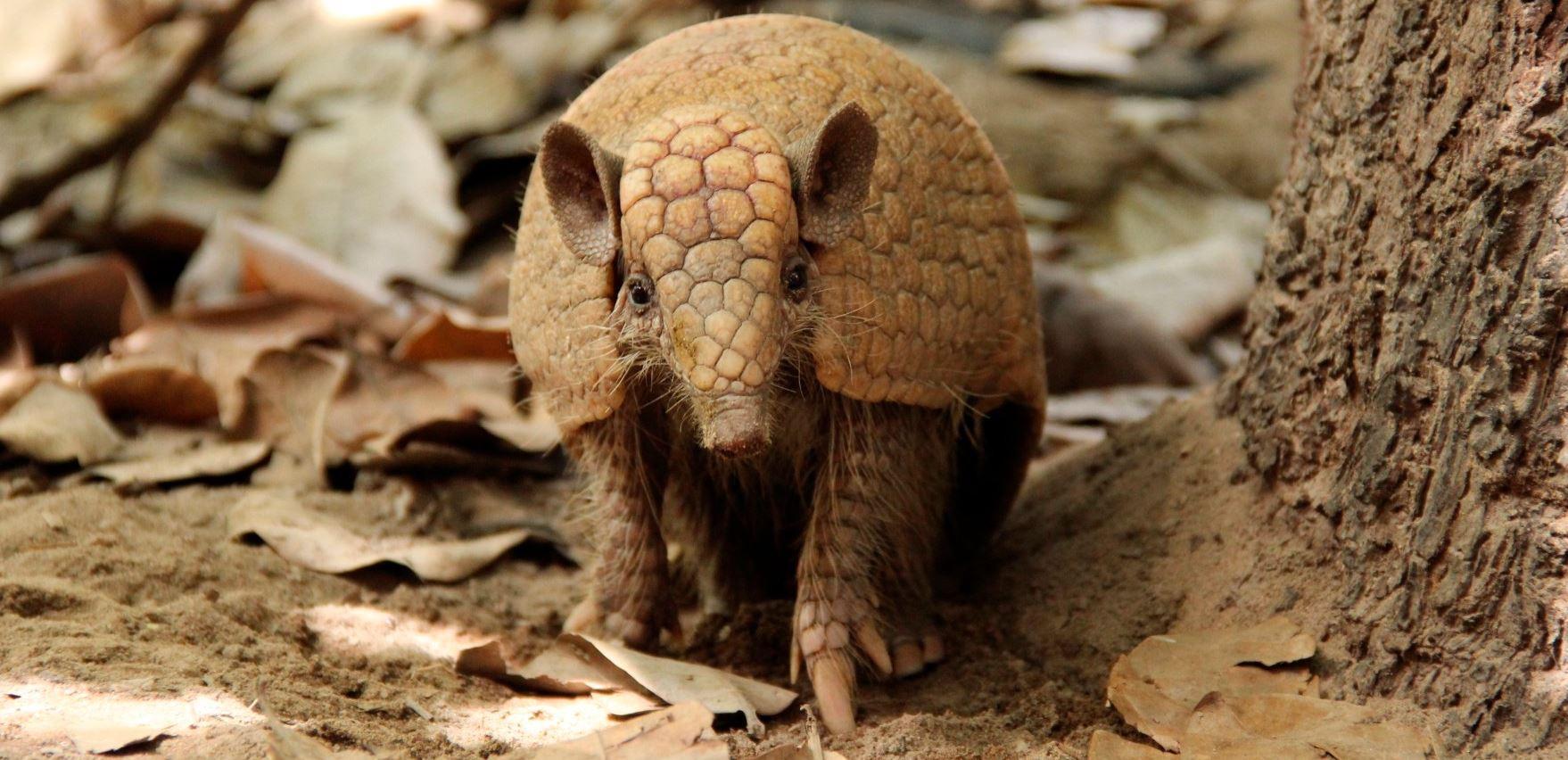 O Tatu-bola (Tolipeutes tricinctus) é uma das espécies brasileiras em perigo de extinção em função da perda de seu ambiente natural. (Foto: Liana Mara Mendes de Senna / ICMBio)