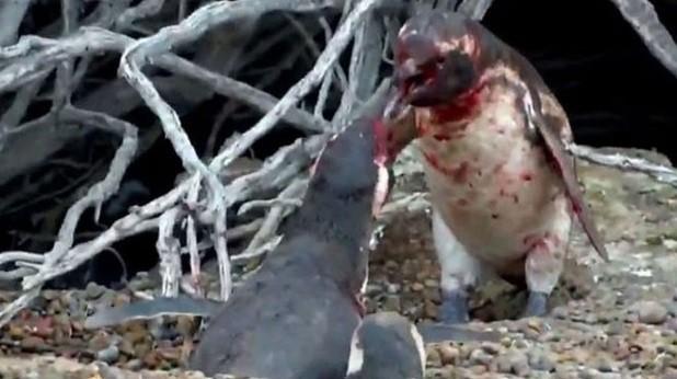 Batalha de pinguins pelo amor de uma fêmea