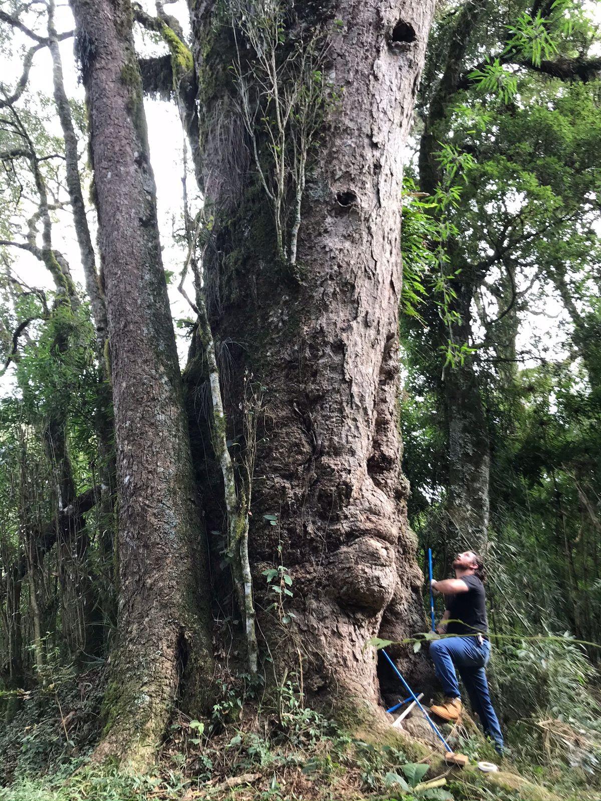 Dia da Árvore: Projeto cataloga Imbuias gigantes, espécie símbolo de SC em risco de extinção; FOTOS