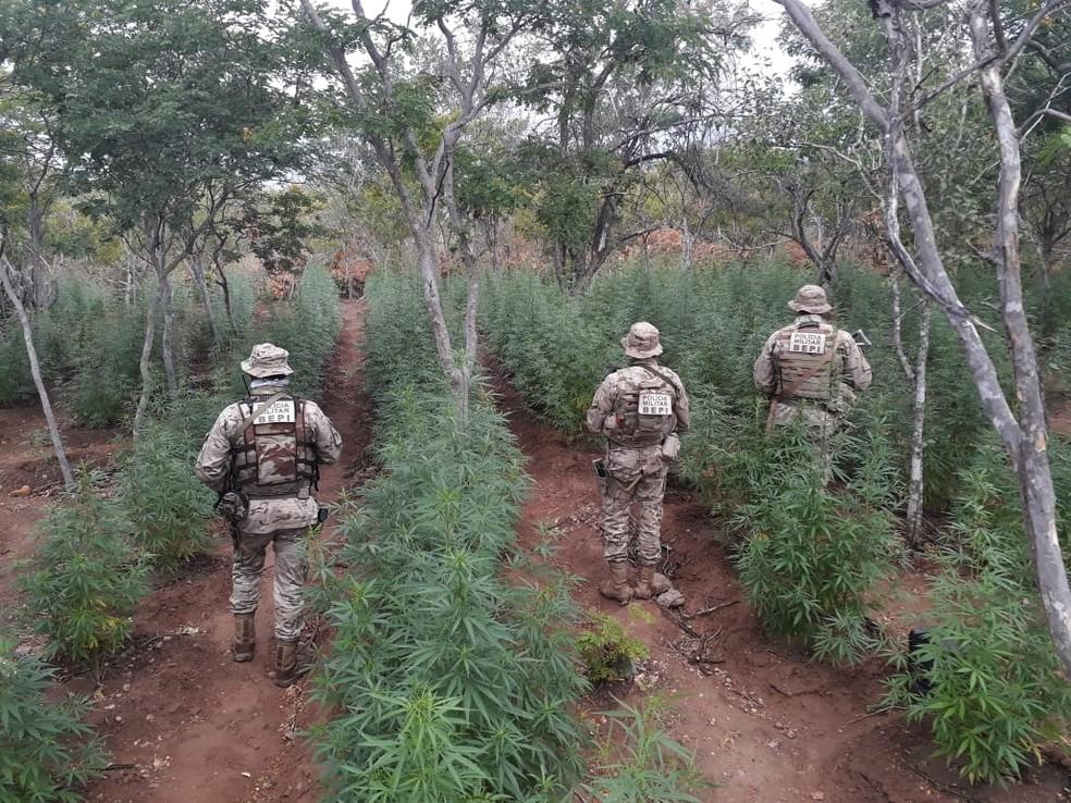 PM e PF destroem duas plantações de maconha em Betânia — Foto: Polícia Militar/Divulgação