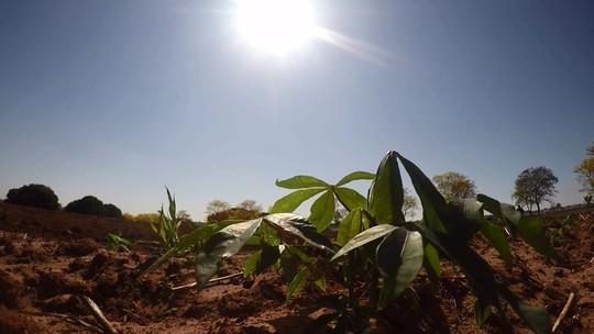 Estiagem provoca prejuízos na safra de mandioca no Paraná