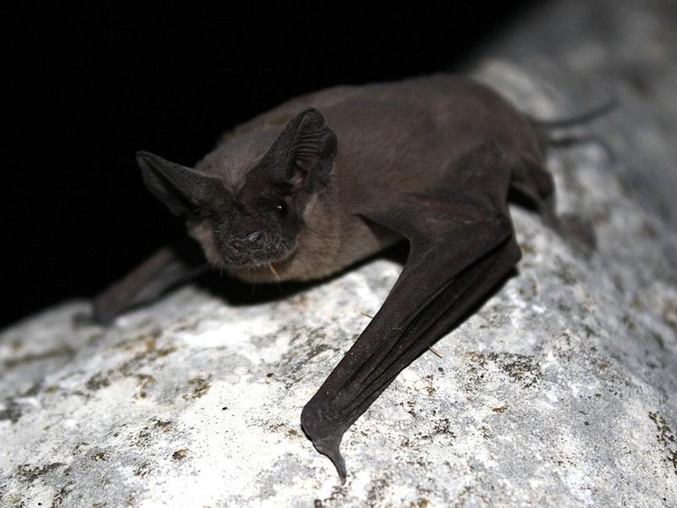Tadarida brasiliensis é um pequeno morcego que pesa cerca de 12 gramas — Foto: U.S. Fish and Wildlife Service Headquarters