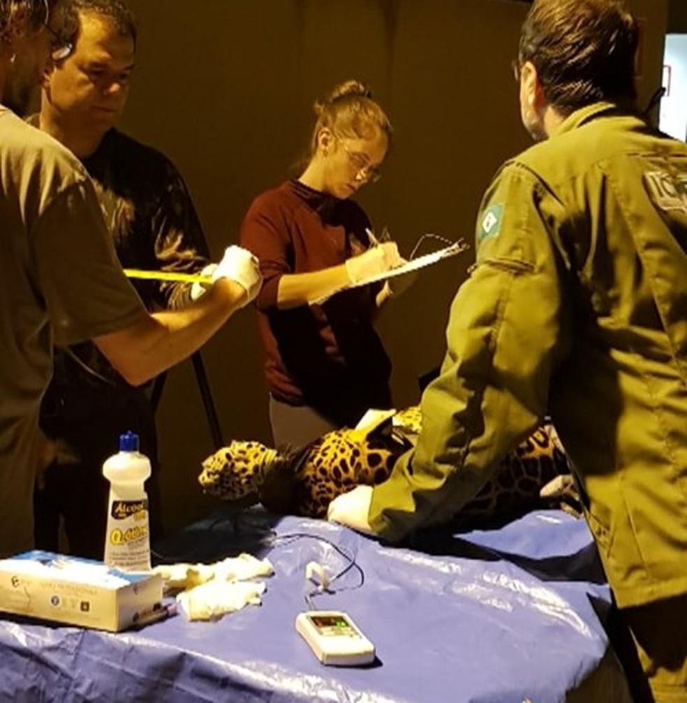 Após captura, onça-pintada passou por exames e foi encaminhada para uma área de Mata Atlântica, segundo UFJF — Foto: Reprodução/Facebook
