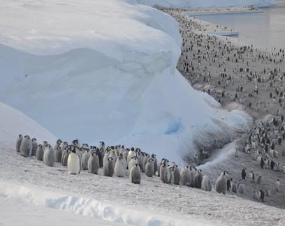 Satélite revela colônias desconhecidas de pinguins-imperadores na Antártida