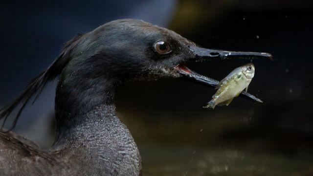 Pato ameaçado de extinção: a descoberta de ovos que dá esperança para ave rara no Brasil