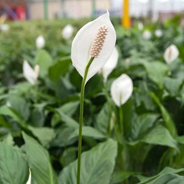 Plantas ornamentais venenosas: conheça 5 espécies tóxicas que exigem cuidados especiais (Foto: Getty Images)