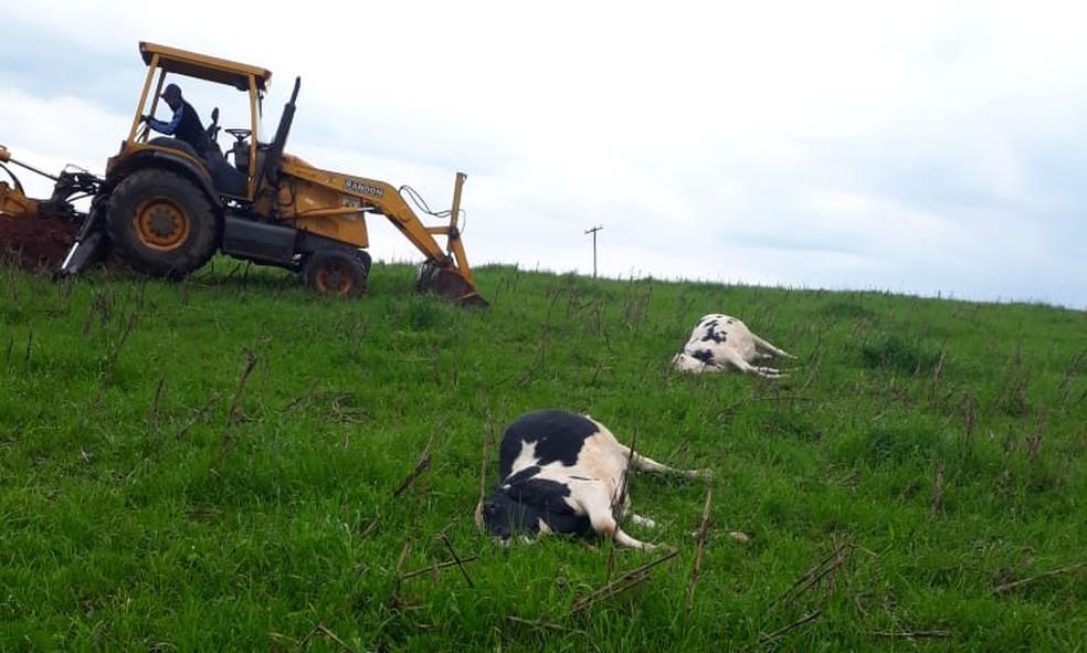 Eram duas vacas holandesas e cinco da raça red angus em fazenda de Estrela Velha (Foto: Flávio Hélio Berlt/Arquivo Pessoal)