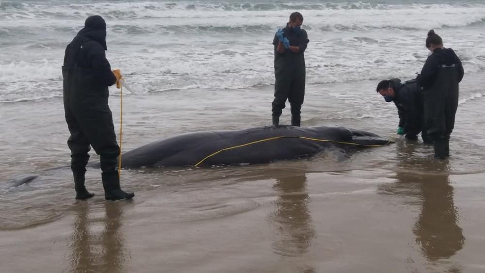 Filhote de baleia-franca é encontrado morto e encalhado em Imbituba