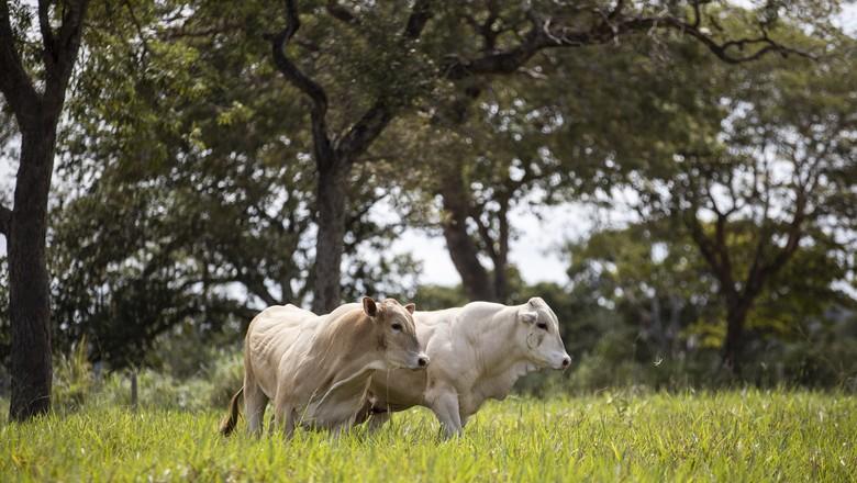 bovinos-boi-corte-carne-nobre-raça-araguaia (Foto: Origem Premium)