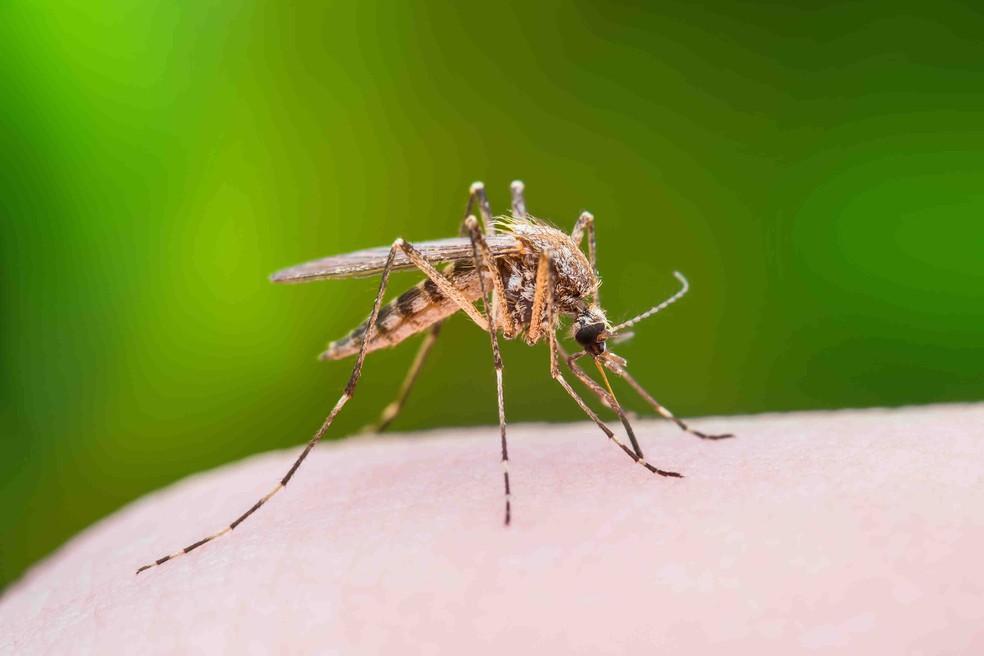 O mosquito Aedes aegypti, transmissor de dengue, zika e chikungunya.  (Foto: iStock/FarmaConde)