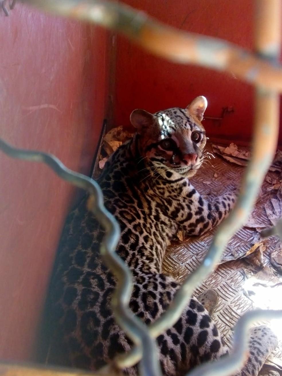 Animal foi capturado e solto em mata nativa no fim da tarde em São Sebastião do Paraíso (Foto: Corpo de Bombeiros)