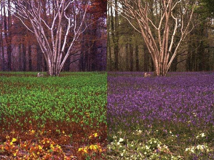 Campo de plantas Hyacinthoides non-scripta na perspectiva de um humano (esquerda) e de uma abelha (direita) (Foto: Jolyon Troscianko)