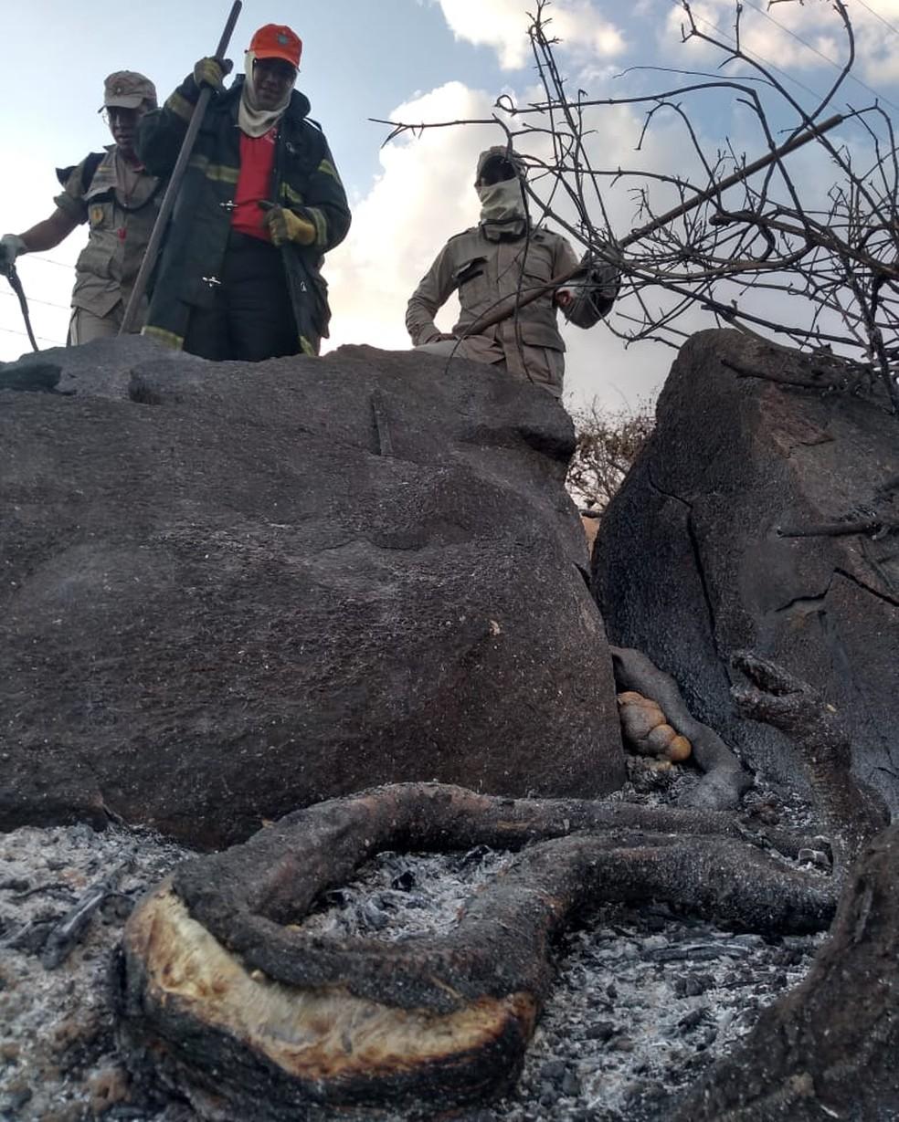 Cobras foram localizadas por bombeiros de Limoeiros do Norte, que combatem as chamas na região. — Foto: Marceliano Nascimento/ Arquivo pessoal