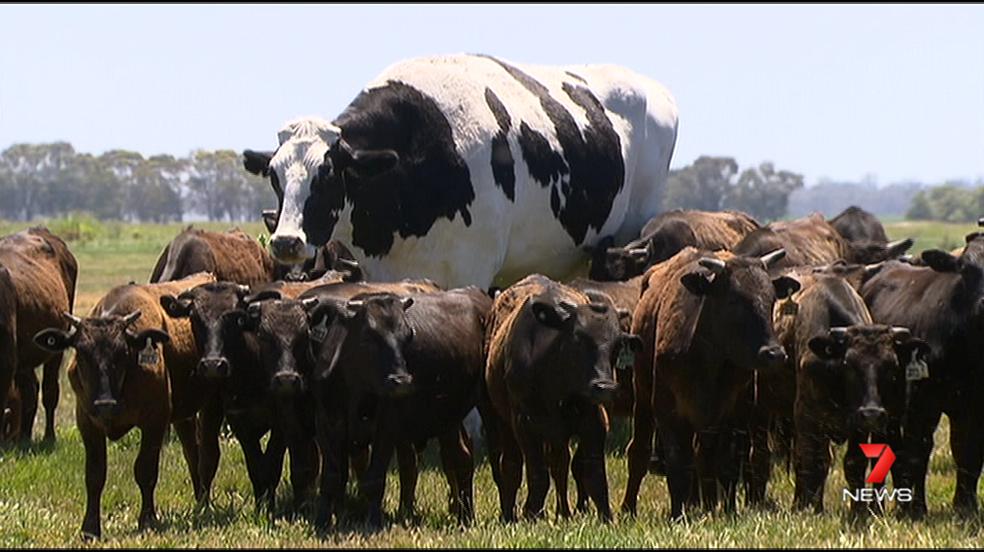 O boi gigante que chocou telespectadores de TV australiana e escapou do abate por ser 'grande demais' — Foto: Reprodução/Twitter