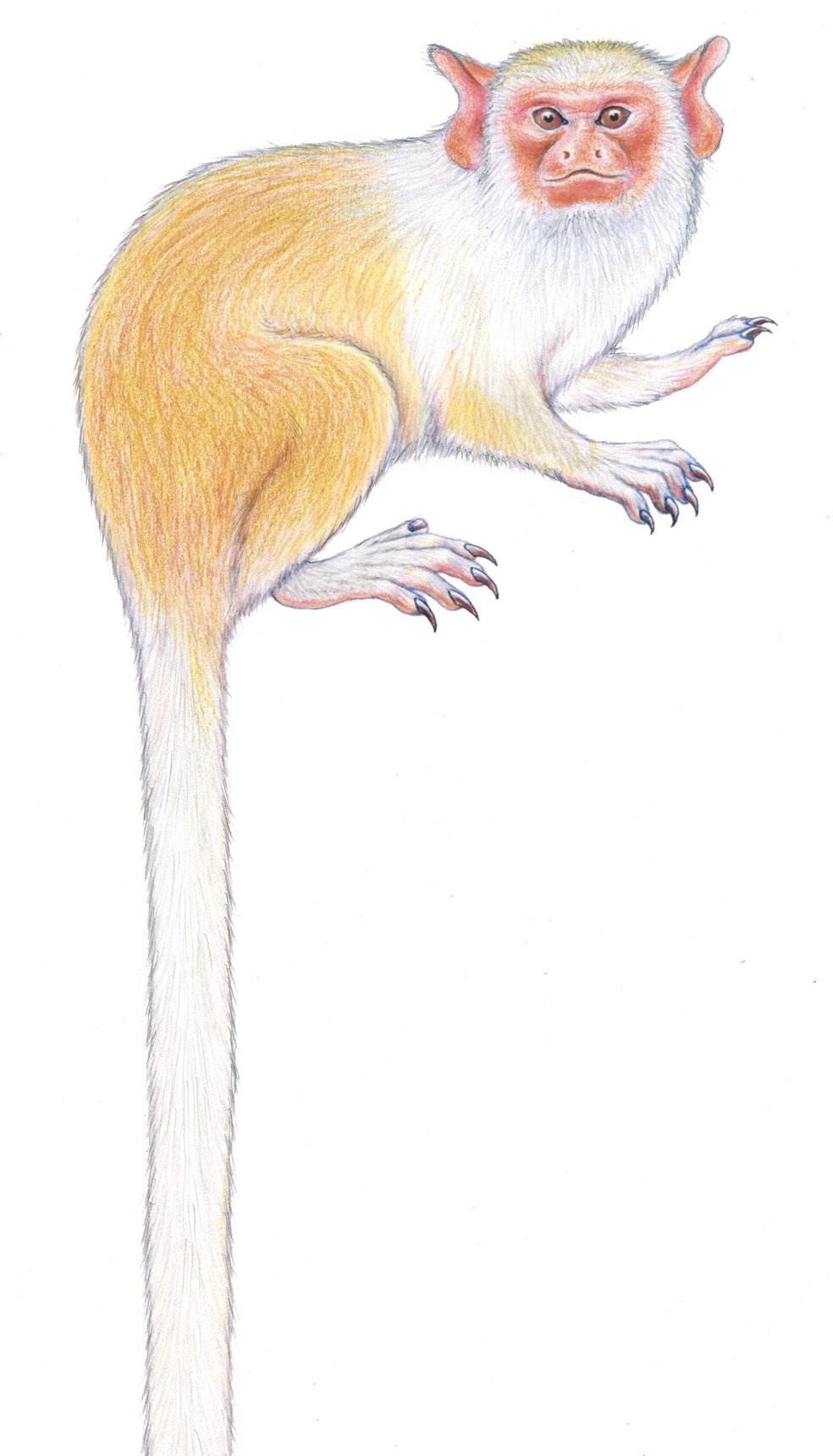 Mico-dos-munduruku é espécie exclusiva da região sul da Amazônia  — Foto: Ilustração de Stephen Nash