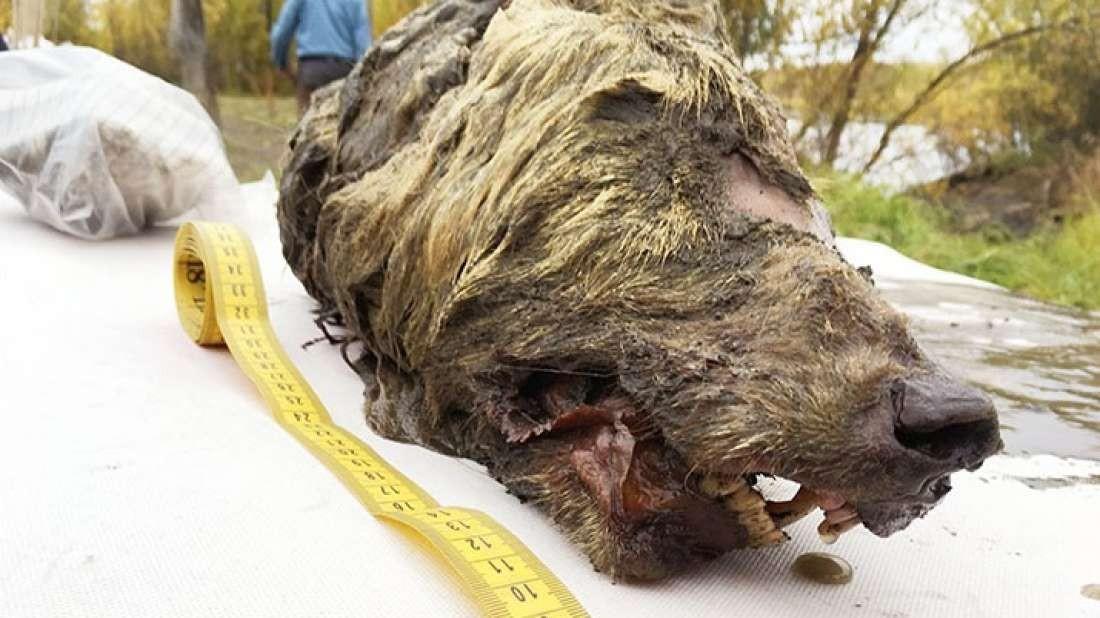 Lobo que viveu no final da Era do Gelo tinha dentes enormes.  (Foto:  Albert Protopopov/ Sakha Academy of Sciences.)
