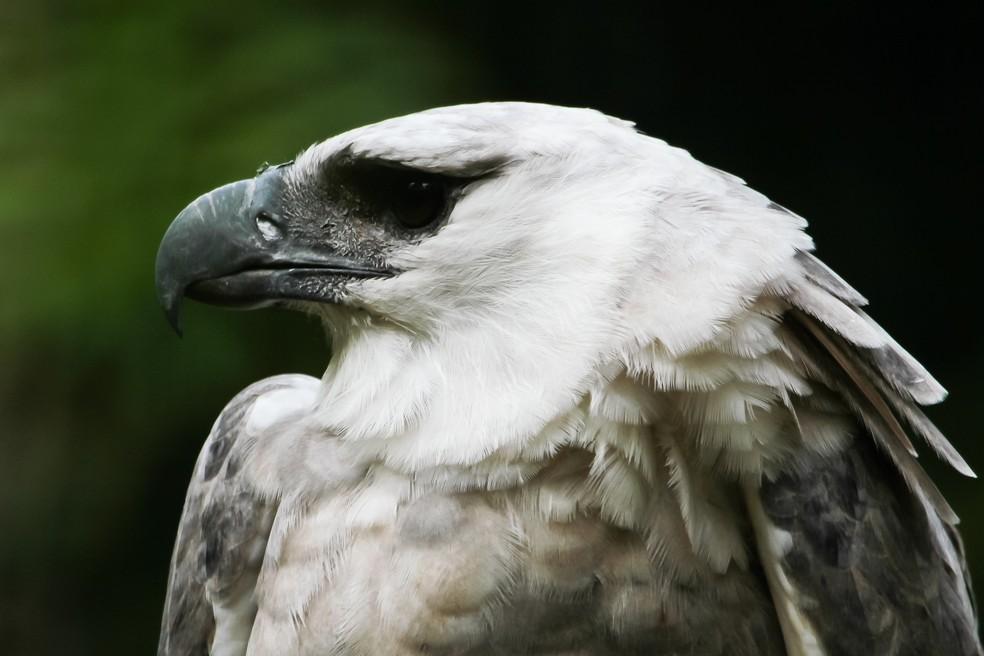 Uiraçu é conhecido também como gavião-real (Foto: Zé Edu Camargo/Dicas da Gente)