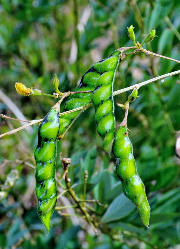 Unripe Pigeon peas seeds, or Gandules beans hanging from plant (Foto: Getty Images/iStockphoto)