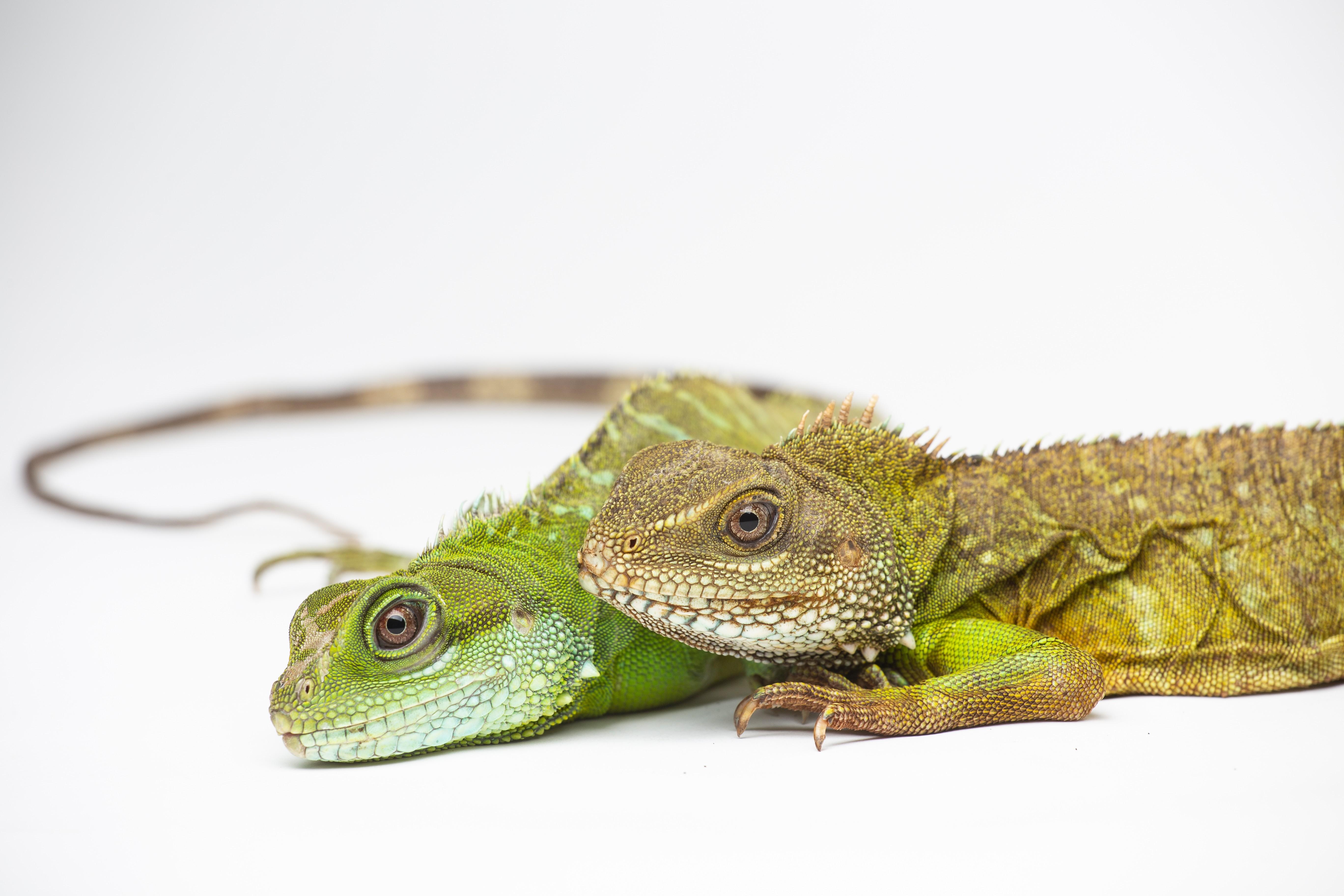 A espécie de lagarto e seu filhote posam para a foto (Foto: Divulgação)