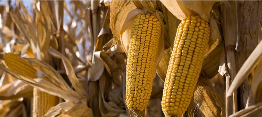 O milho ceroso foi um dos primeiros alimentos melhorado com a tecnologia CRISPR (Foto: Divulgação)