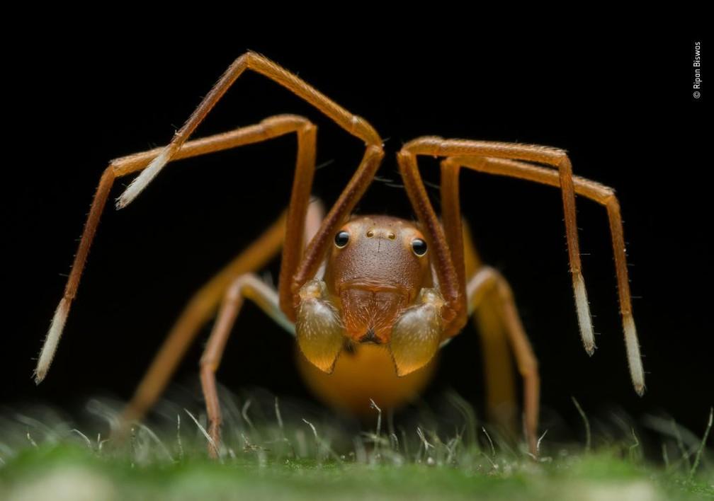 """Categoria """"Retratos de animais"""", foto vencedora de Ripan Biswas, Índia. Na foto, uma aranha """"disfarçada"""" em uma colônia de formigas. — Foto: Ripan Biswas"""