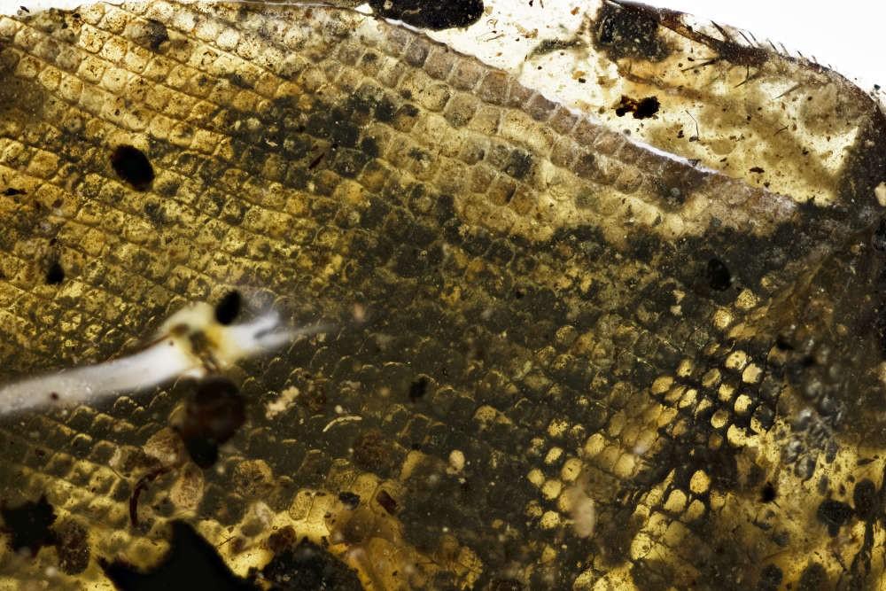 Detalhe em alta escala da pele da serpente DIP-V-15104 (Foto: Royal Saskatchewan Museum)