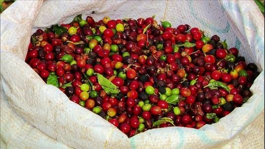 Café de menor qualidade e queda na produção preocupam produtores do Sul de MG