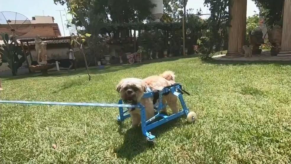 Cãozinho ganhou cadeira de rodas de um projeto de Sorocaba — Foto: Reprodução/TV TEM