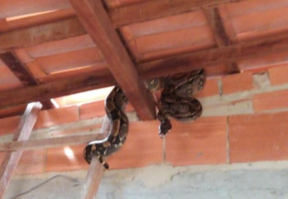 Jiboia com cerca de dois metros é resgatada em telhado de casa em Catu — Foto: Divulgação / SSP-BA
