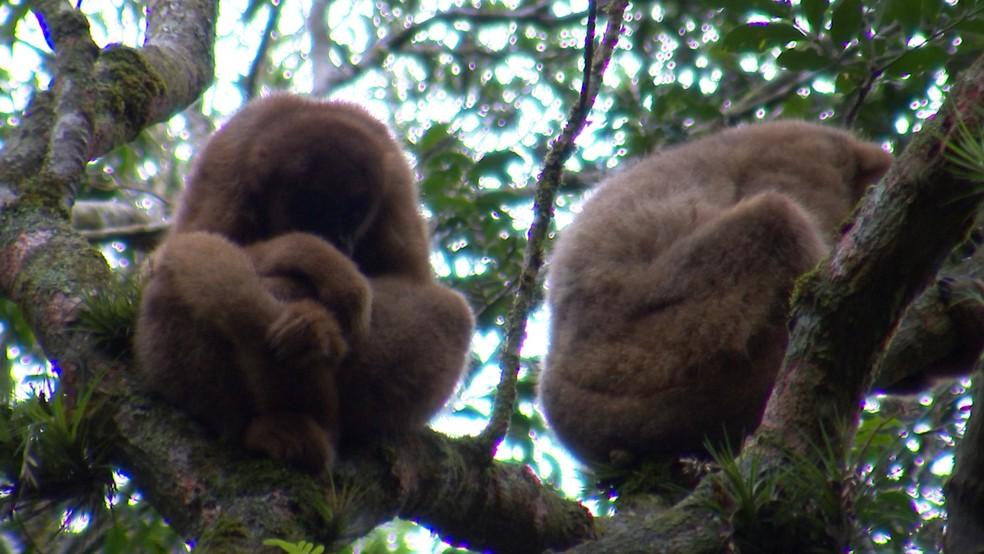 Maior macaco das Américas corre risco de extinção (Foto: Reprodução/TV TEM )