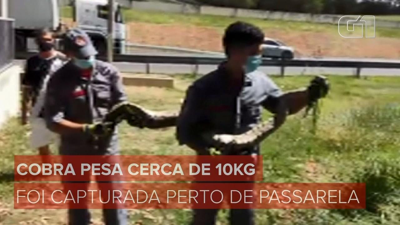 Veja a captura de uma cobra de 2 metros perto de passarela em rodovia de Campinas