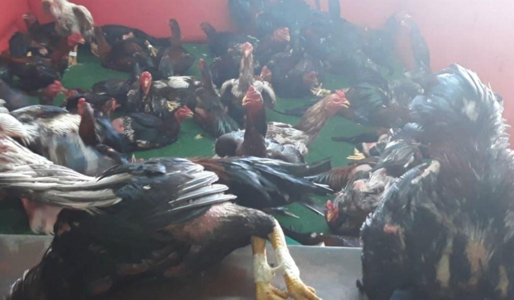 Polícia rinha de galos e apreende mais de 60 animais na Serra, ES