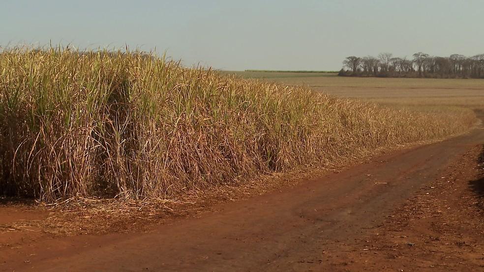 Plantações foram diretamente afetadas pela onda de frio em Jardinópolis, SP — Foto: Reprodução/EPTV