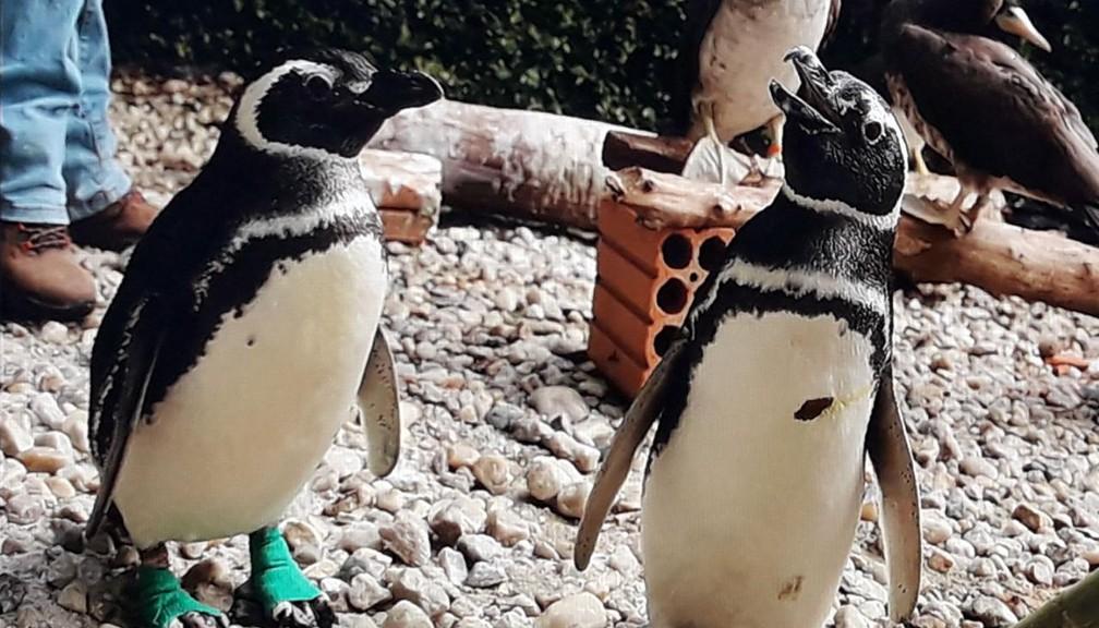 Pinguins-de-magalhães são comuns na América do Sul e quando encontrados debilitados nas praias são tratados pelo IPeC (Foto: Divulgação/IPeC)