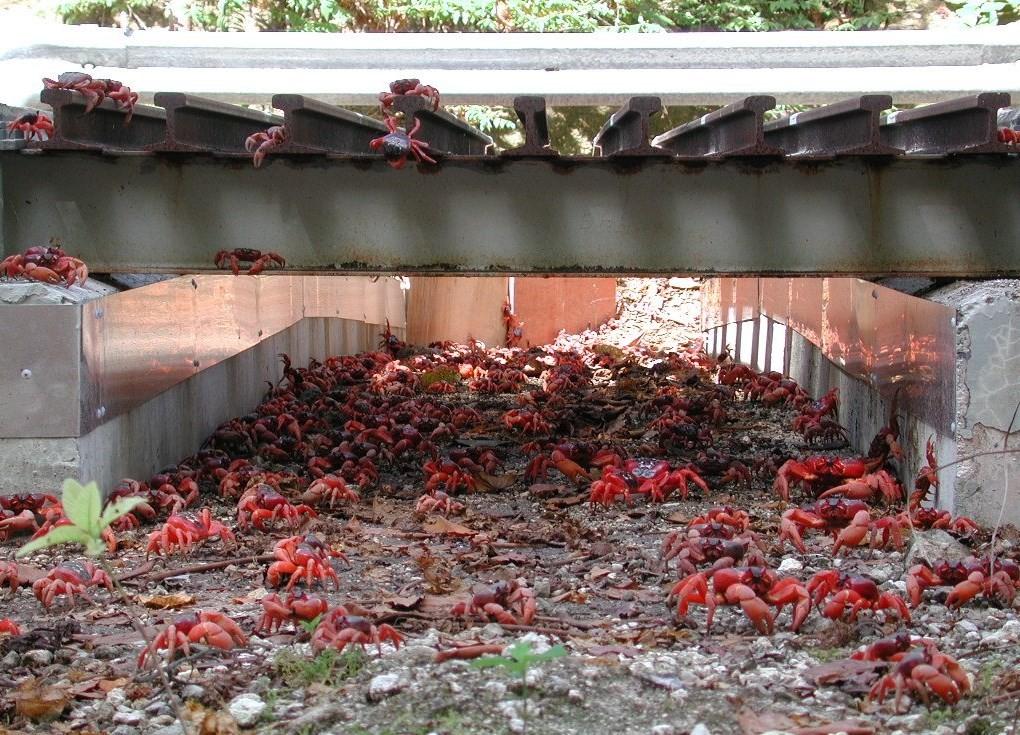 Migração dos caranguejos-vermelhos da Austrália