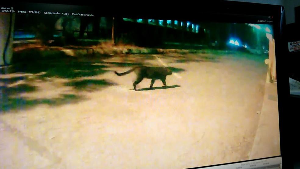 Imagem de câmera de segurança de onça na área externa do Palácio do Itamaraty, em Brasília (Foto: Reprodução)