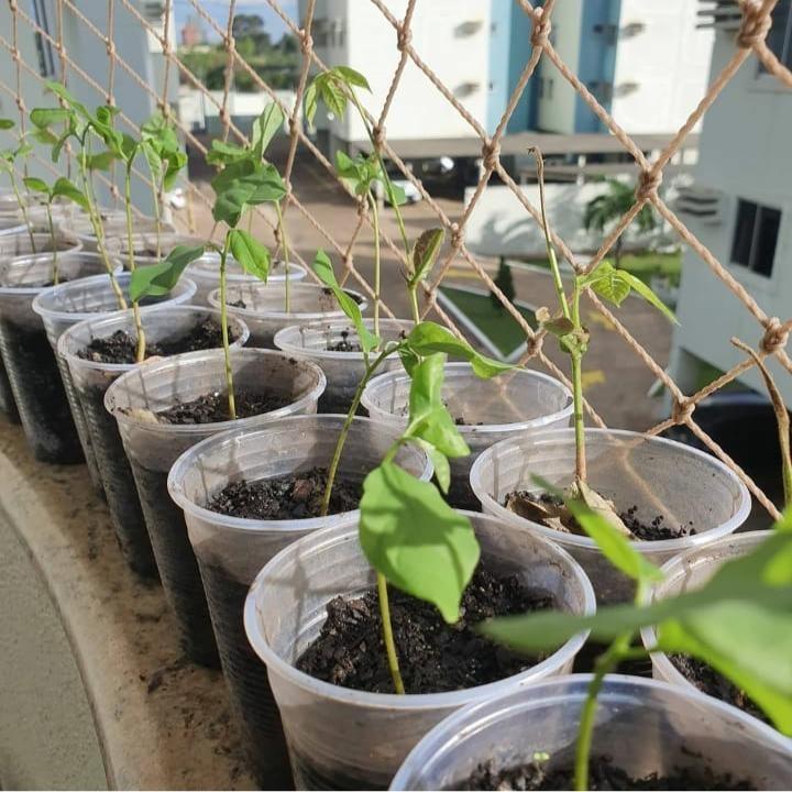 Morador de Porto Velho decide fazer mudas de árvores frutíferas e distribui na Unir