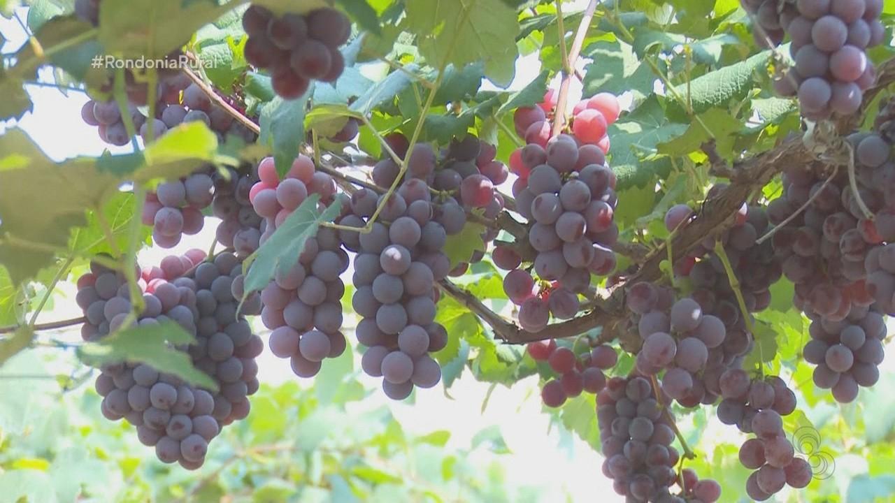 Parte 1: Um vendaval destruiu a maior plantação de uva em Rondônia