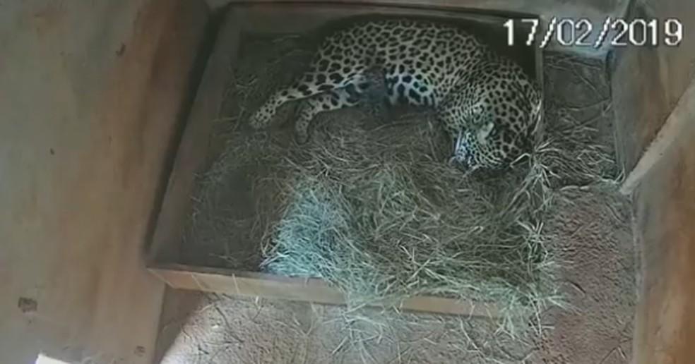 Onça mãe e o filhote no primeiro dia após o nascimento — Foto: Associação Mata Ciliar/Facebook