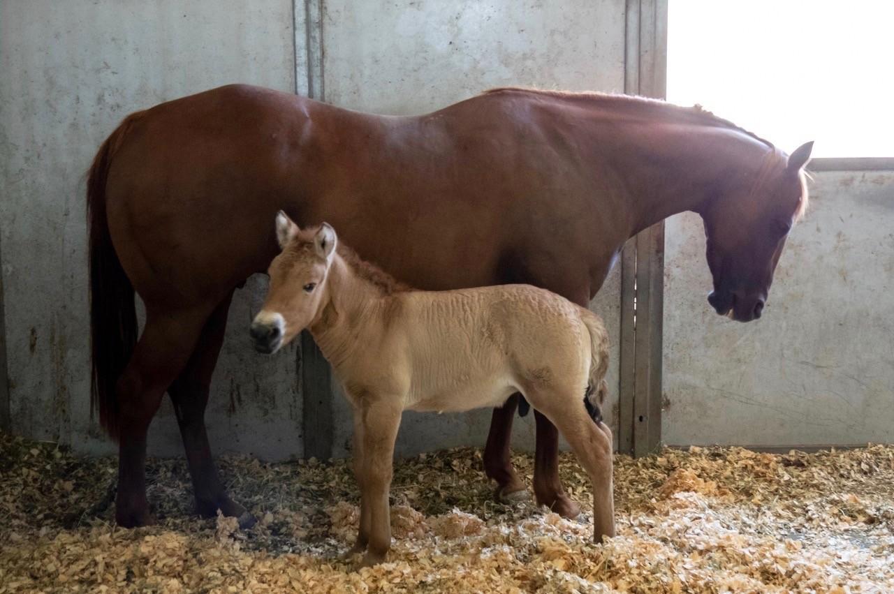 Kurt, o cavalo-de-przewalski clonado, ao lado de sua mãe (Foto: Scott Stine)