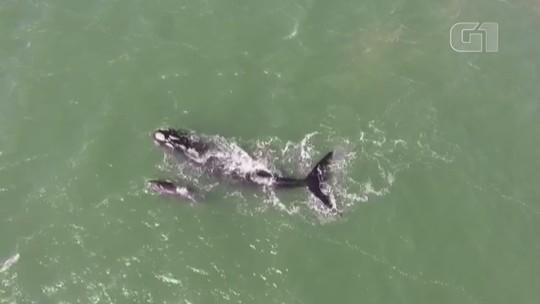 Baleia-franca e filhote são vistos na praia de Tramandaí