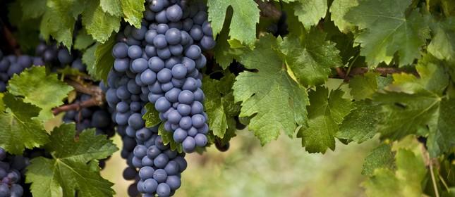 Portugal: mais de 250 uvas autóctones