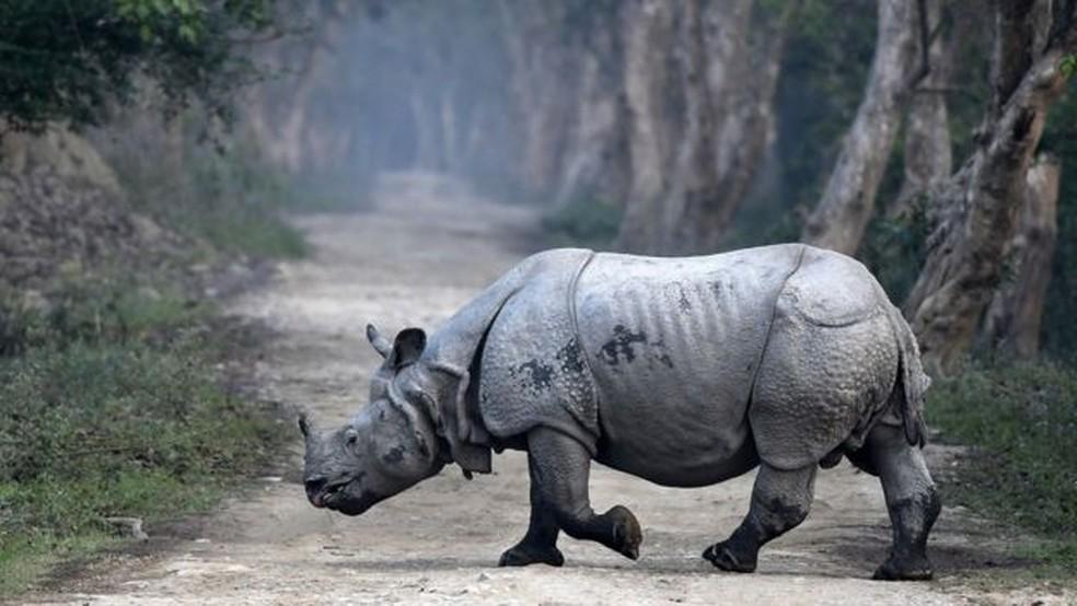 Além da África, rinocerontes também ocorrem na Índia - há cinco espécies deste tipo de animal (Foto: EPA)
