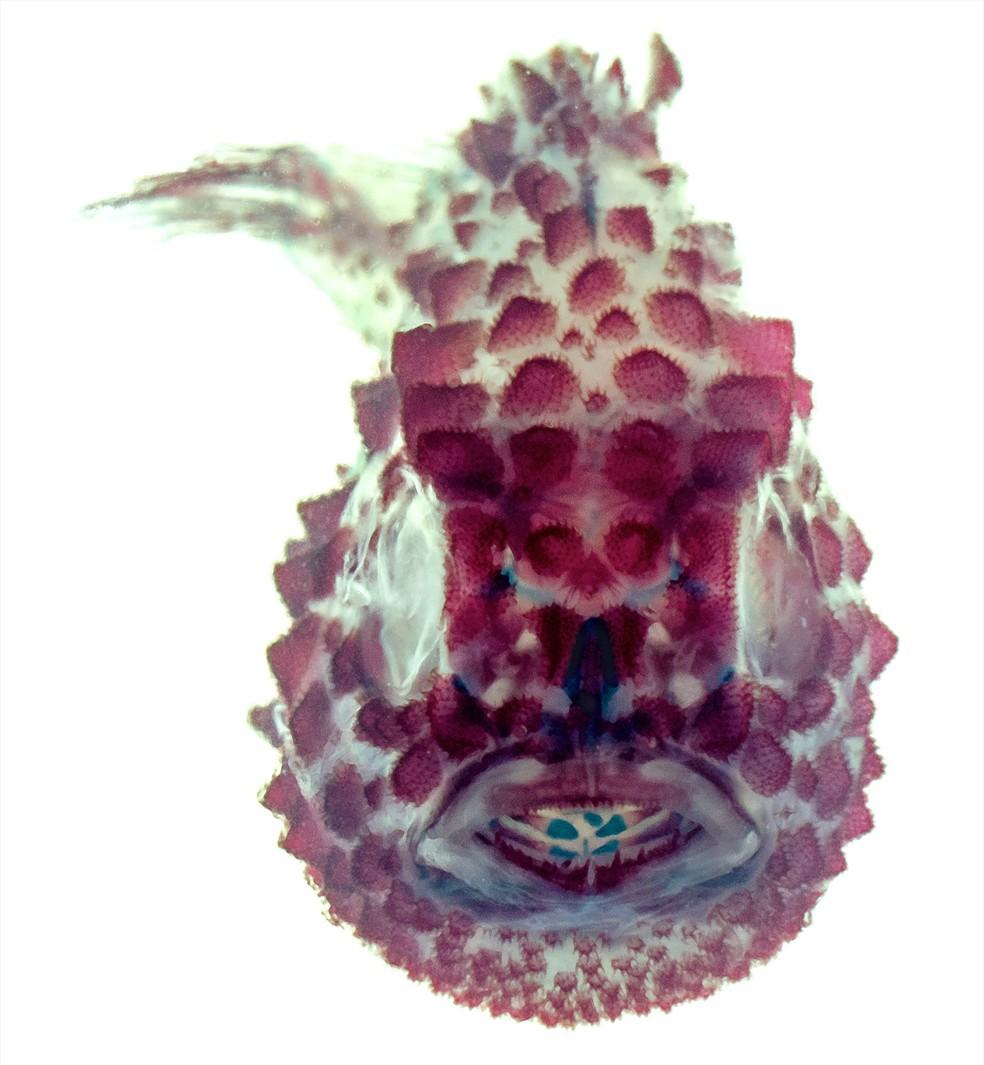 Experimento com peixe Eumicrotremus orbis mostra seu esqueleto (Foto: Leo Smith/The University of Kansas)