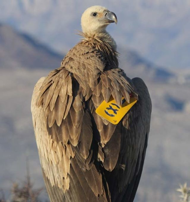 Dobrila, a abutre-fouveiro (Foto: The Birds of Prey Protection Foundation)