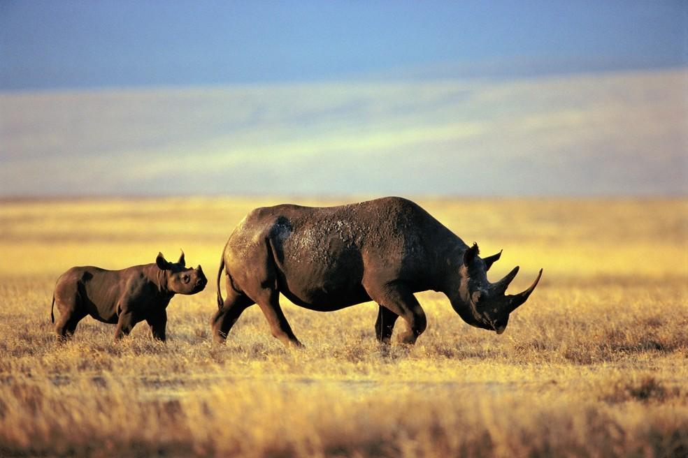Um rinoceronte negro é visto com sua prole na área de conservação Ngorongoro, na Tanzânia — Foto: Frans Lanting/AFP