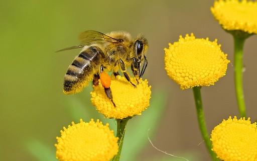 Ondas de calor aumentam o risco de extinção das abelhas, mostra pesquisa